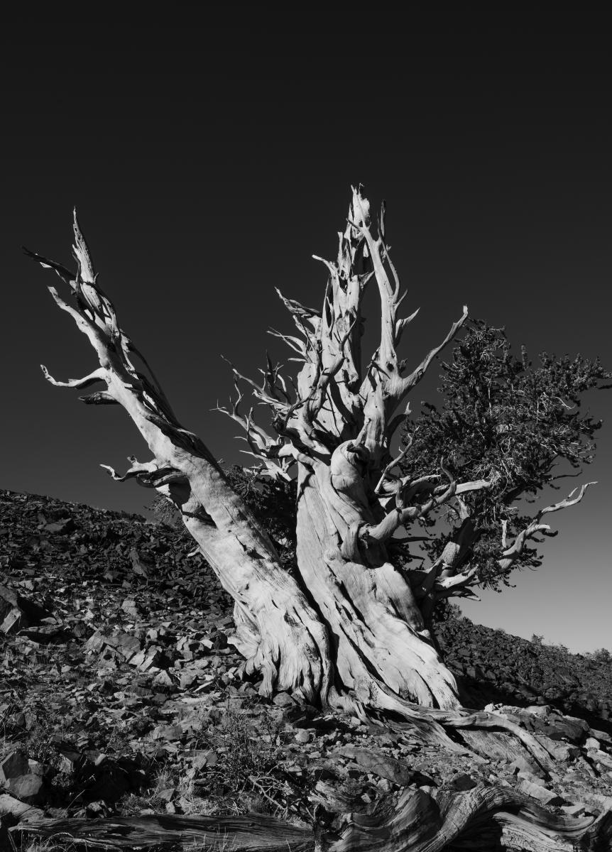 Stretch : Bristlecone Pine Trees (B&W) : Bruno Mahlmann Photography
