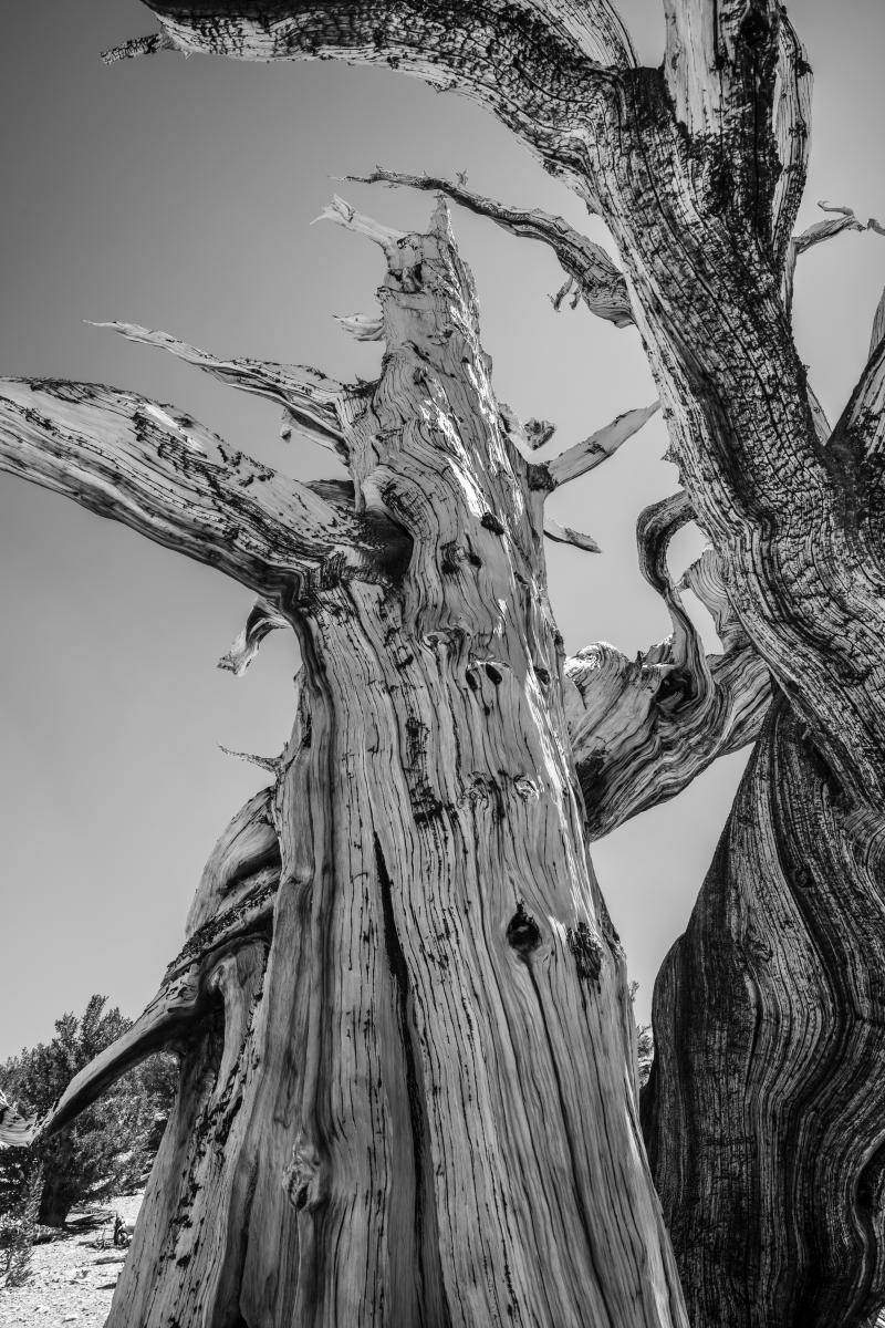 Monument : Bristlecone Pine Trees (B&W) : Bruno Mahlmann Photography