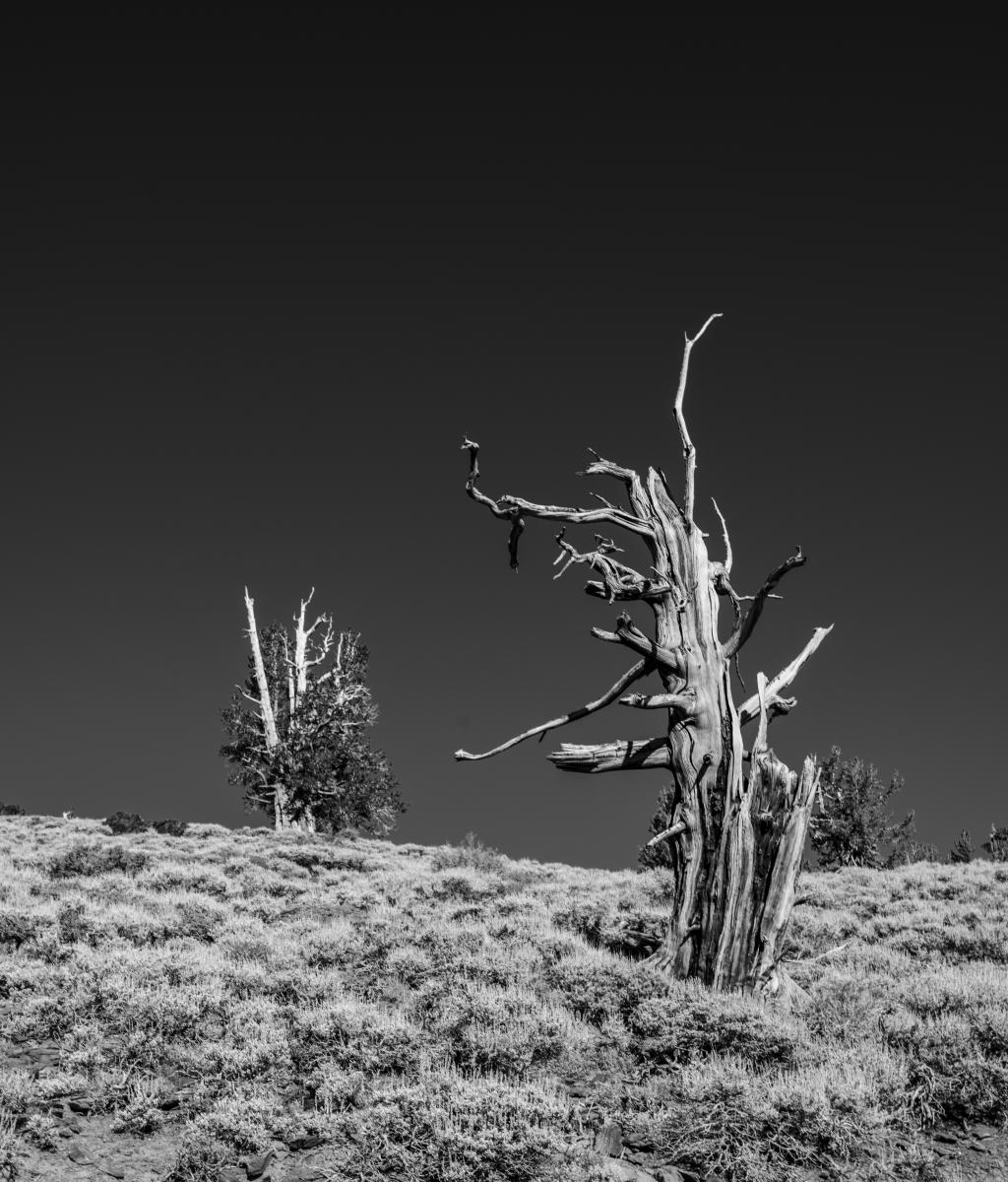 Untitled 2 : Bristlecone Pine Trees (B&W) : Bruno Mahlmann Photography